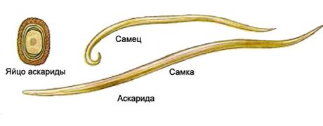 аскарида